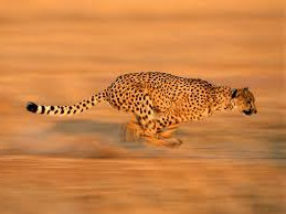 cheetah fast